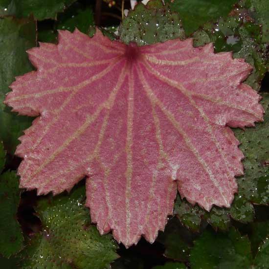 Cortusifolia-Susumu JP-8457