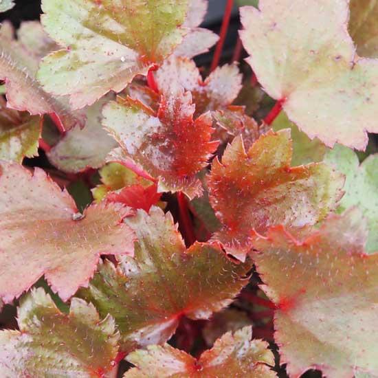 Cortusifolia-Susumu JP-8456