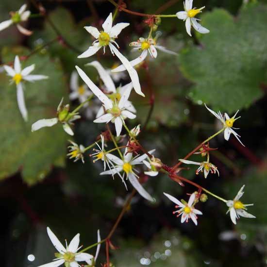 Cortusifolia-Susumu JP-0