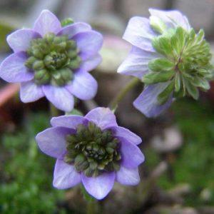 nobilis var. japonica Chiba JP-0