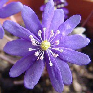 nobilis var. japonica Japans Blauer Stern JP-0