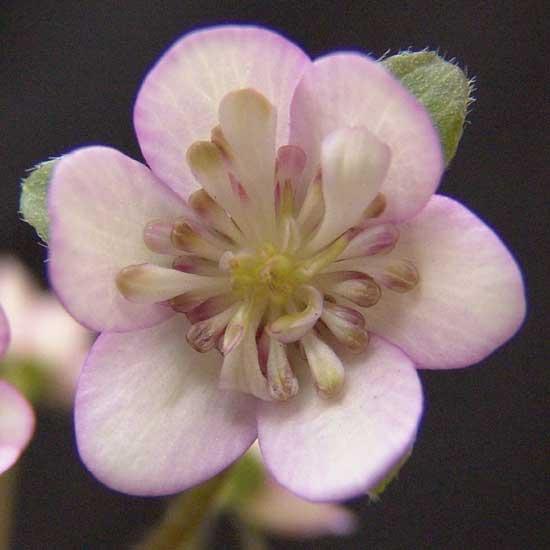 nobilis var. japonica Koshi no maboroshi-0