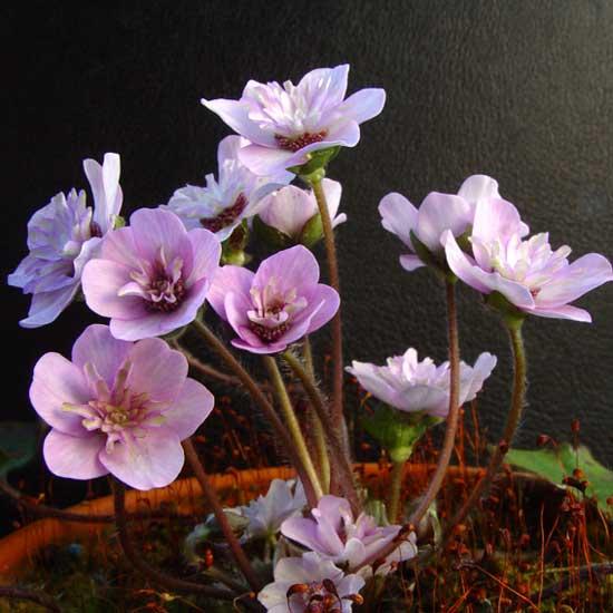 nobilis var. japonica Saichou-0