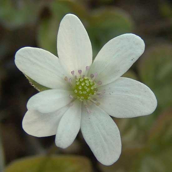nobilis var. japonica Weißer Spätzünder JP-0