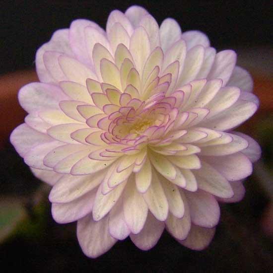 nobilis var. japonica Yuzuru-0