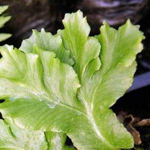 scolopendrium Cristata-0