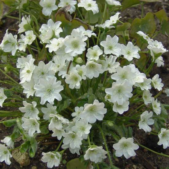 nobilis var. glabrata Polen's Weiße-0