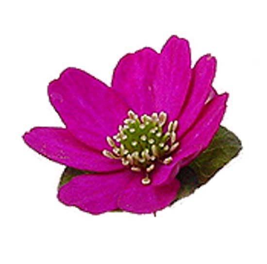 nobilis var. japonica Rote Töne-0