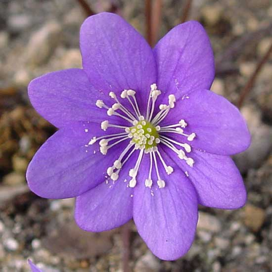 nobilis var. japonica Blaue Töne-0