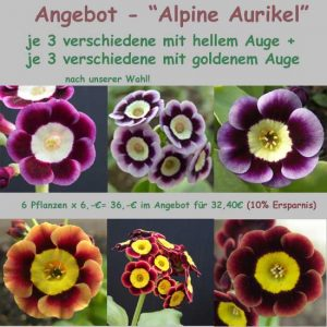 Alpine Aurikel-0