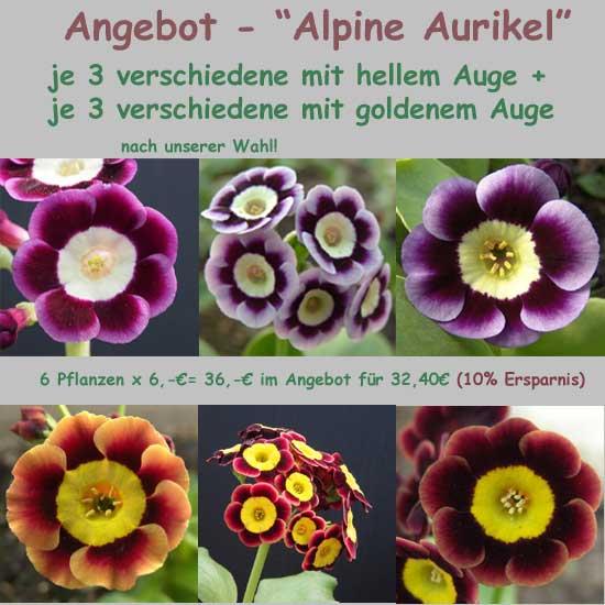 Alpine Aurikel-0
