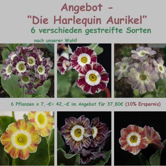 Die Harlequin Aurikel-0