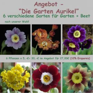 Die Garten Aurikel-0