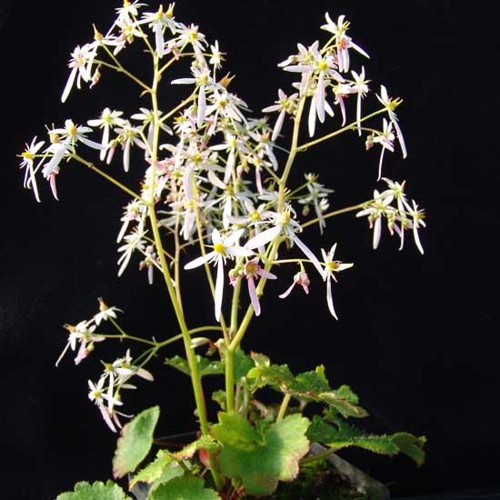 Cortusifolia-Kuro-dake JP-8879