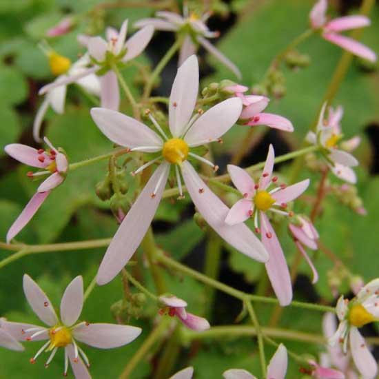 Cortusifolia-Kuro-dake JP-0