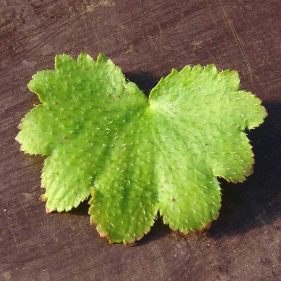 Cortusifolia-Kuro-dake JP-8881
