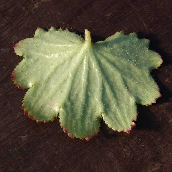 Cortusifolia-Kuro-dake JP-8880