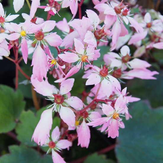 Cortusifolia-Leiko JP-0