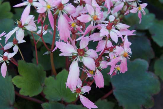 Cortusifolia-Leiko JP-8888
