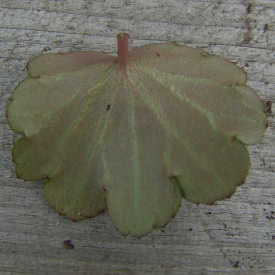 Cortusifolia-Leiko JP-8889