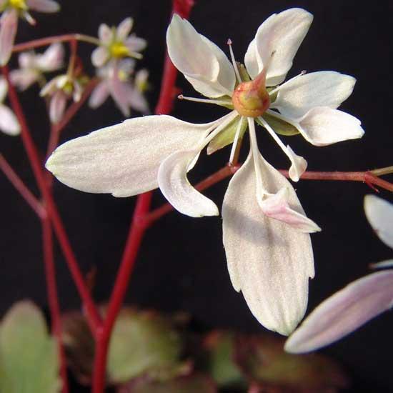 Cortusifolia-Michiko JP-0