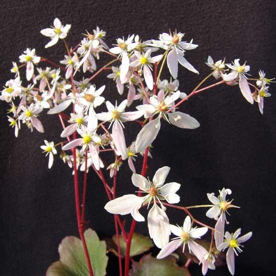 Cortusifolia-Michiko JP-8902