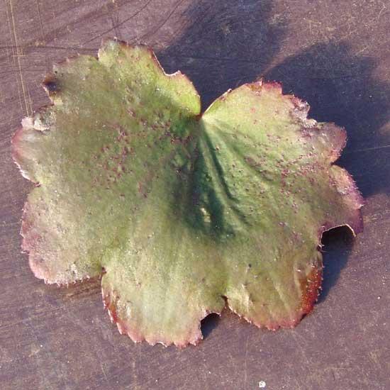 Cortusifolia-Michiko JP-8903
