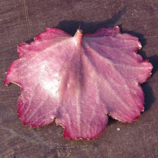 Cortusifolia-Michiko JP-8905