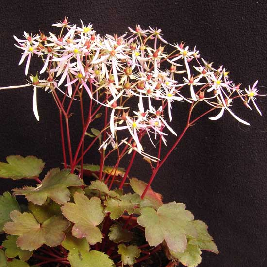 Cortusifolia-Natsumi JP-8922