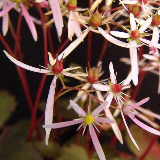 Cortusifolia-Natsumi JP-0