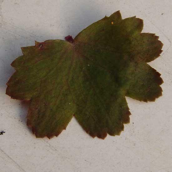 Cortusifolia-Natsumi JP-8921
