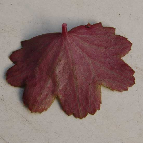 Cortusifolia-Natsumi JP-8923