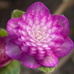 nobilis var. japonica Aniju-0