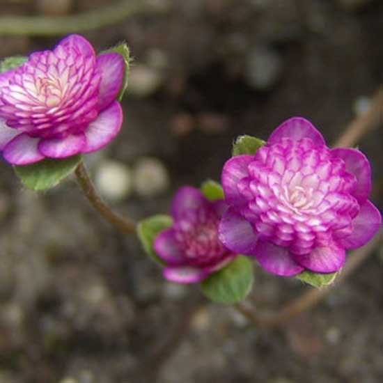 nobilis var. japonica Aniju-9112