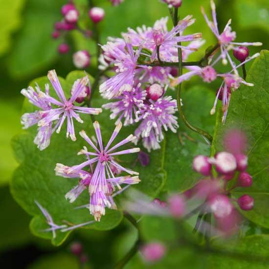 actaefolium Perfume Star ®-0