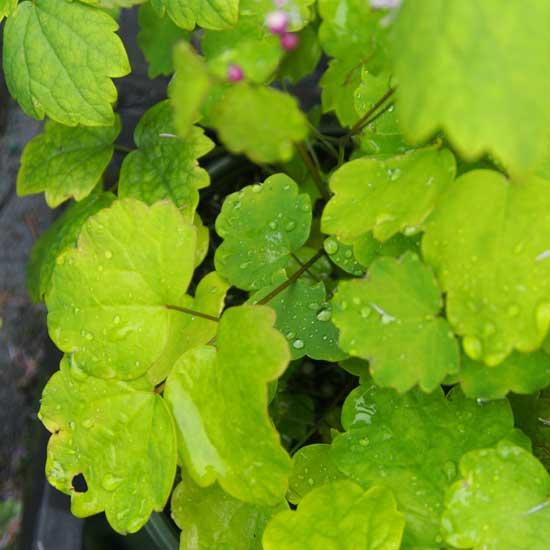 actaefolium Perfume Star ®-9173