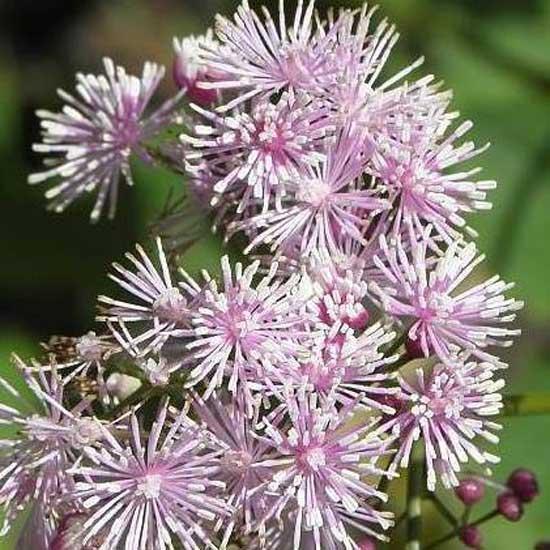actaefolium Perfume Star ®-9174