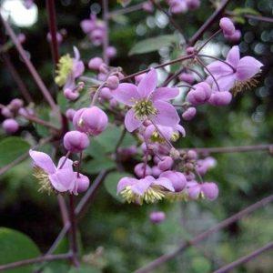 rochebrunianum-0