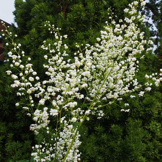 delavayi Splendide White-9185