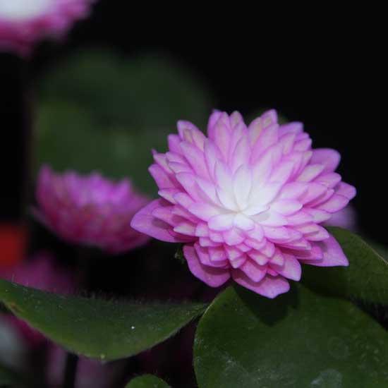 nobilis var. japonica Tohen-9094