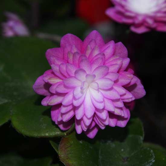 nobilis var. japonica Tohen-0