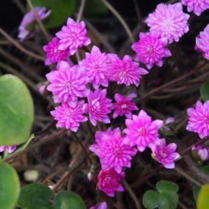 nobilis var. japonica Toukou-0