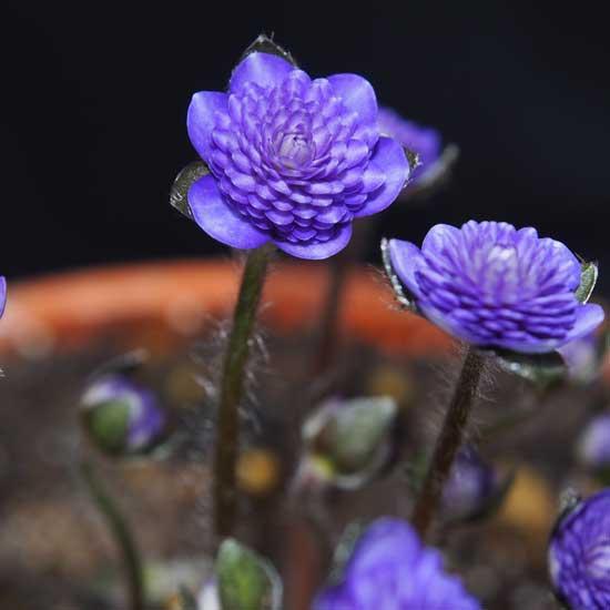 nobilis var. japonica Tourei II-9127