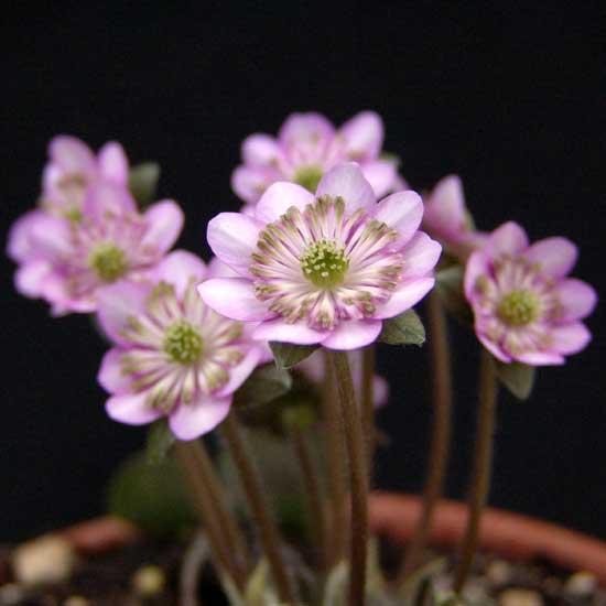 nobilis var. japonica Wabune-9149