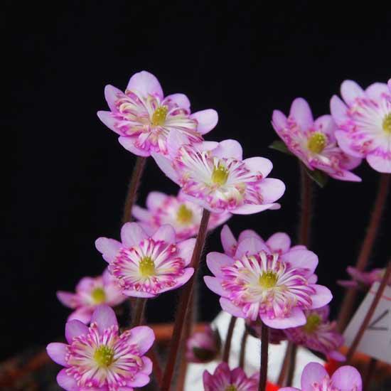 nobilis var. japonica Wabune-9151
