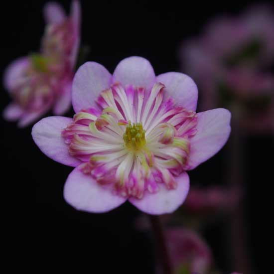 nobilis var. japonica Wabune-9150