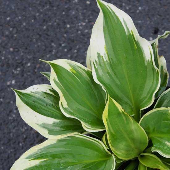 Kultivar Wide Brim-9354