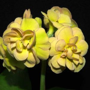 x auricula Forest Hint of Pink-0