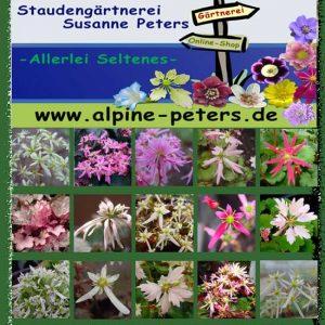 Cortusifolia-Sortenliste-0