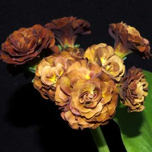 x auricula Forest Old Gold-0